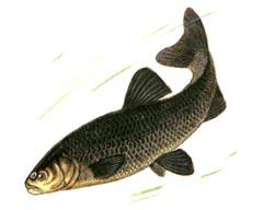 карповые рыбы