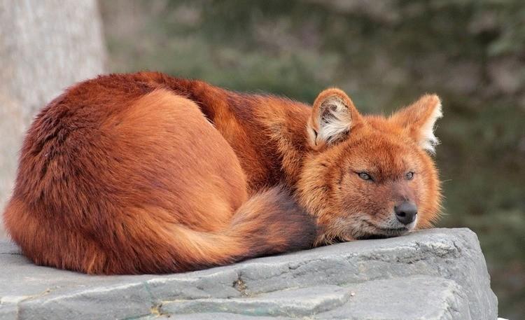 Красный волк Cuon alpinus