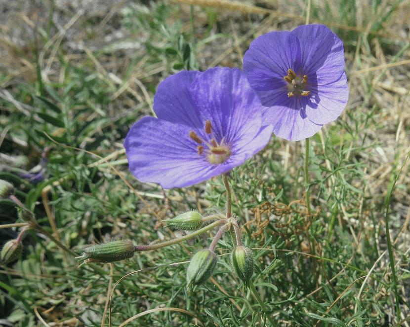 Аистник татарский Erodium Tataricum