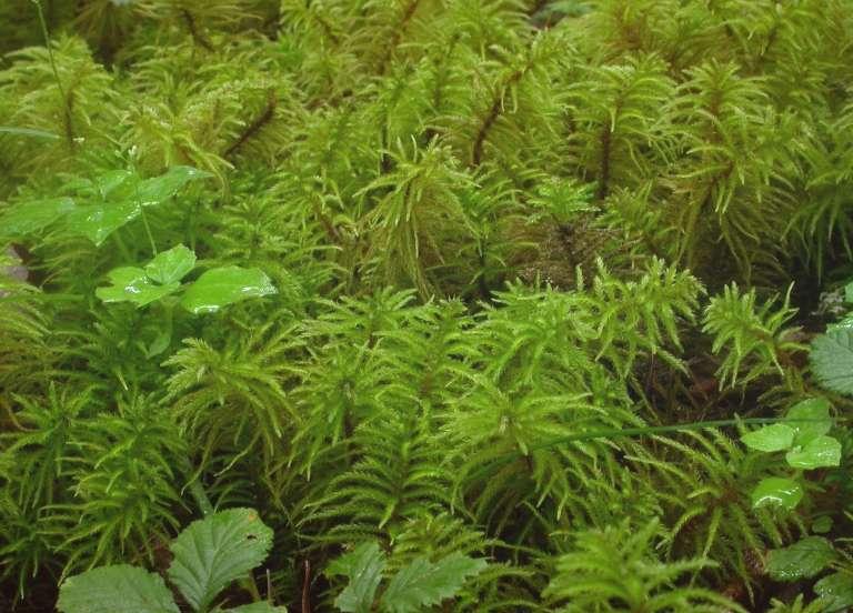 Актинотуидиум Гукера Actinothuidium Hookeri