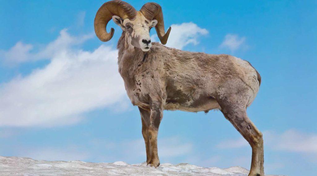 Алтайский горный баран Ovis Ammon Ammon