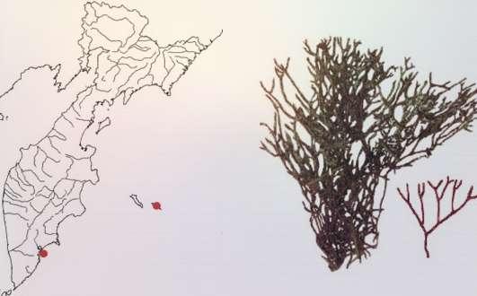 Анфельция равновершинная Ahnfeltia Fastigiata