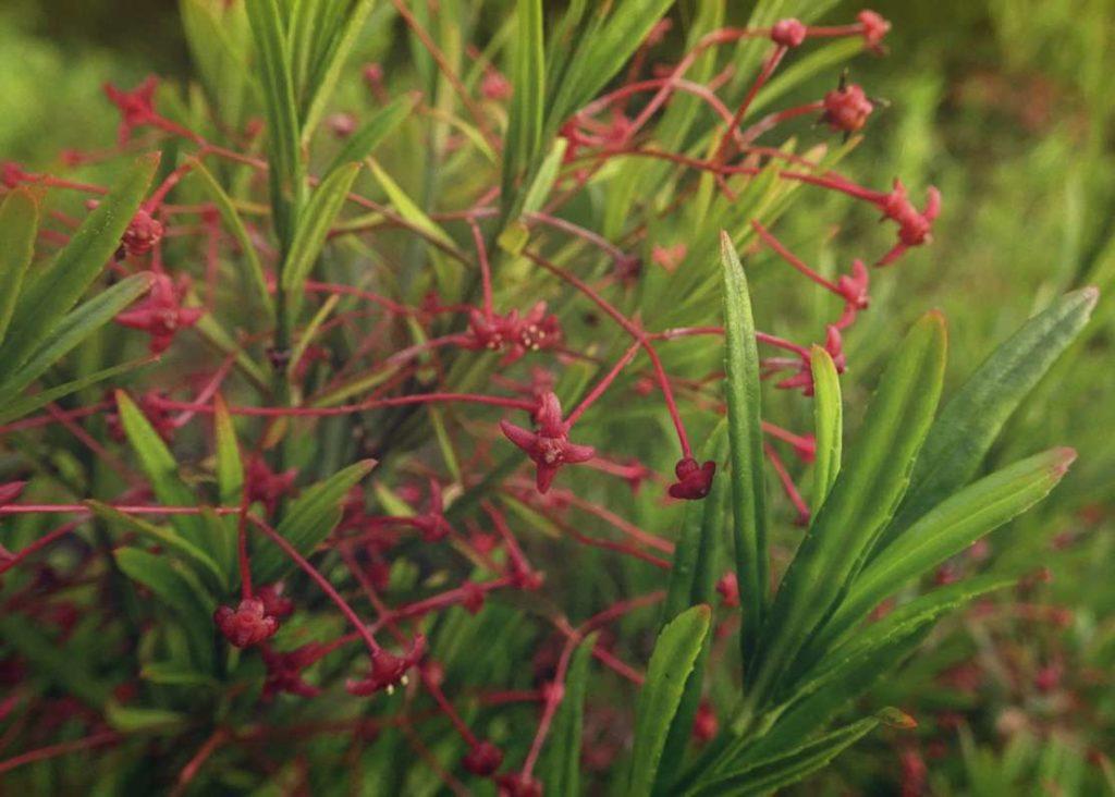 Бересклет карликовый Euonymus Nana