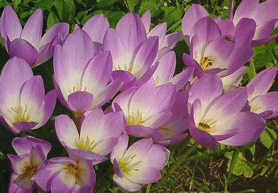 Безвременник великолепный Colchicum Speciosum