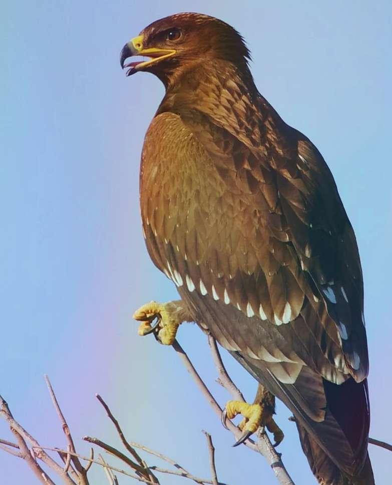 Большой подорлик (популяции Дальнего Востока) Aquila Clanga (oriental Population)