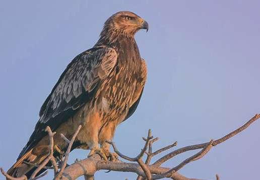 Большой подорлик (популяции европ. части России) Aquila Clanga
