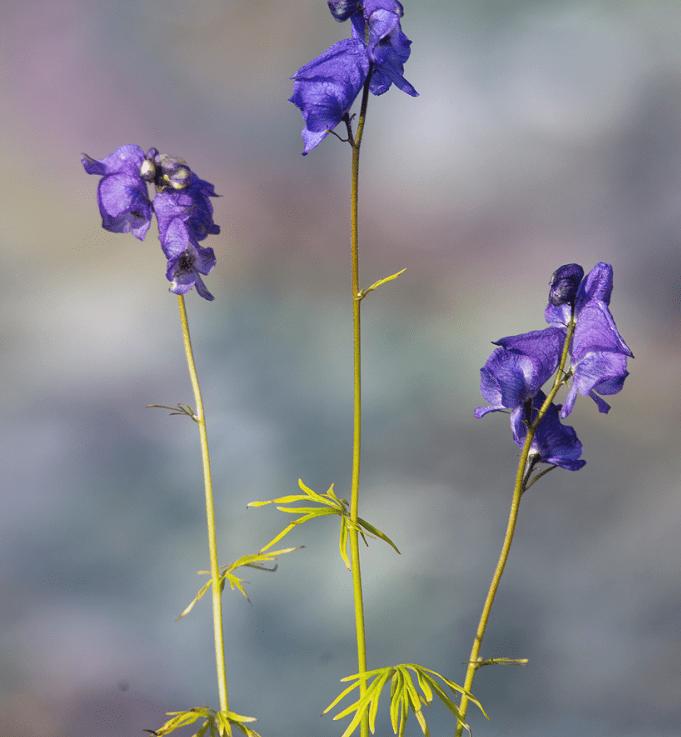 Борец двухцветковый Aconitum Biflorum