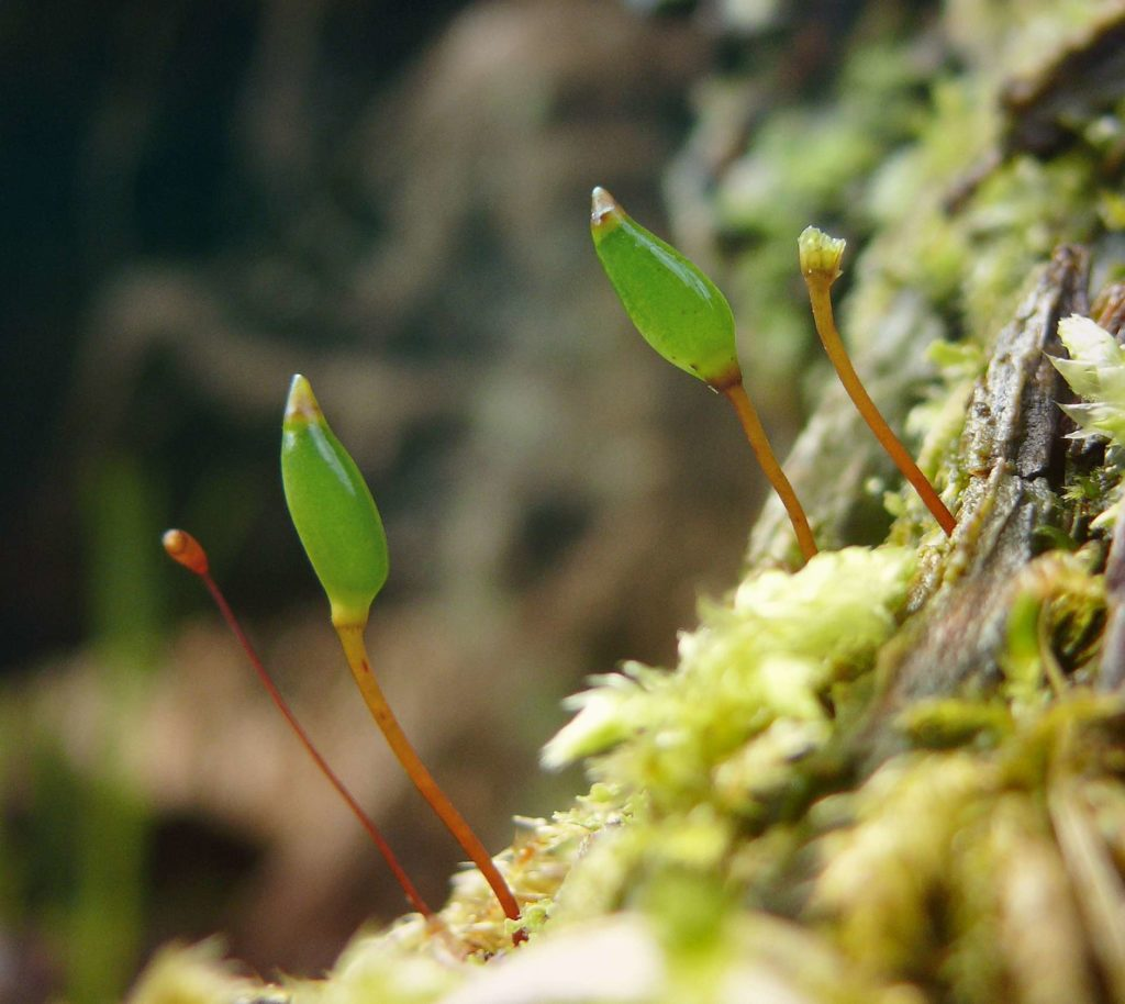 Буксбаумия зеленая Buxbaumia Viridis