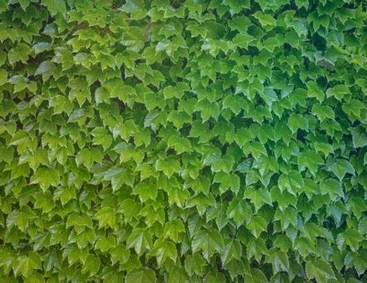 Девичий виноград триостренный Parthenocissus Tricuspidata