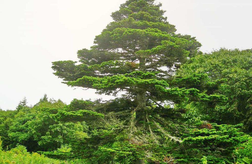 Ель Глена Picea Glehnii