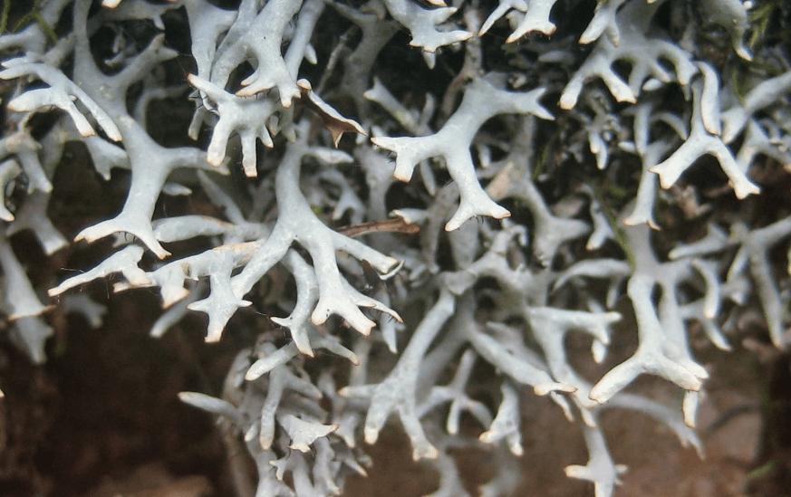 Еверниаструм усиковый Everniastrum Cirrhatum