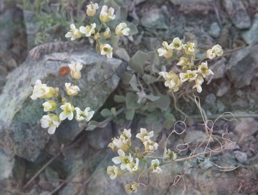 Галицкия лопатчатая Galitzkya Spathulata
