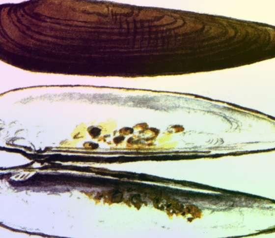 Ханкайская ланцеолярия Lanceolaria Chankensis
