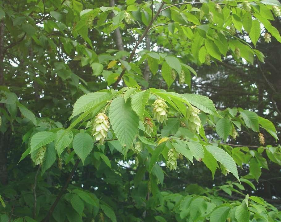 Хмелеграб обыкновеный Ostrya Carpinifolia