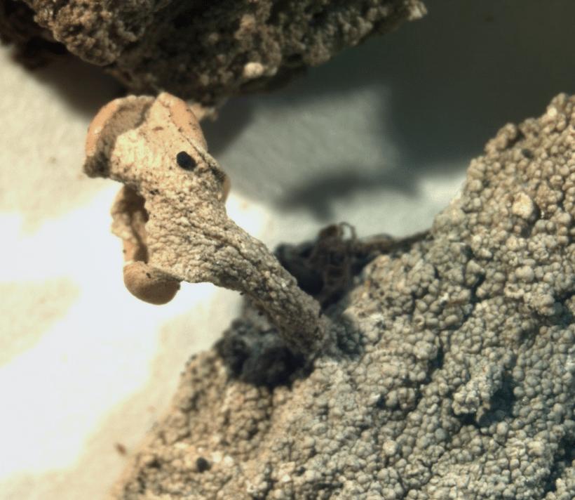 Икмадофила японская Icmadophila Japonica