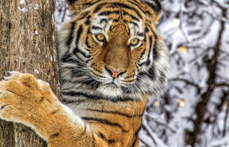 Амурский тигр Panthera tigris altaica