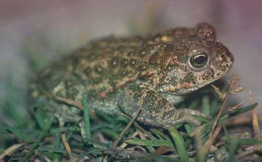 Камышовая жаба Bufo Calamita