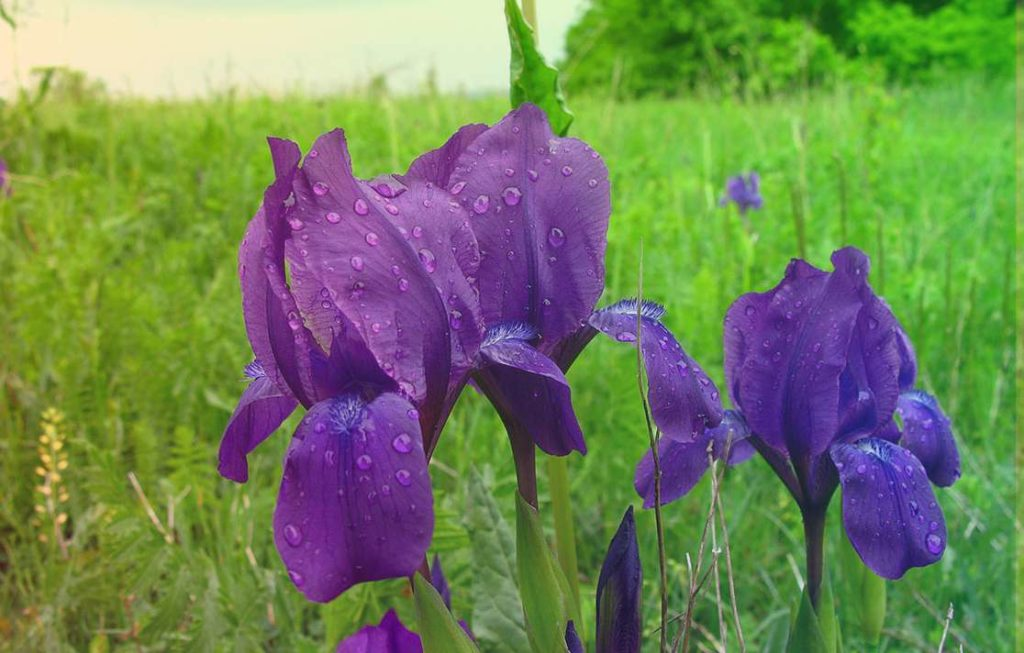 Касатик безлистный Iris Aphylla