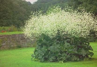 Катран сердцелистный Crambe Cordifolia