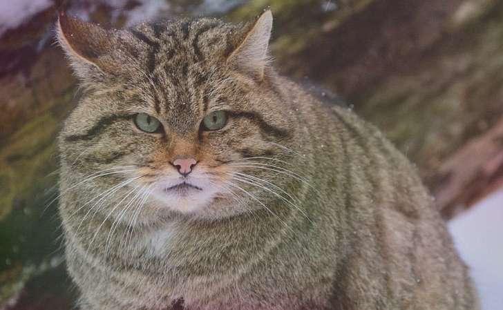 Кавказская лесная кошка Felis Silvestris Caucasica