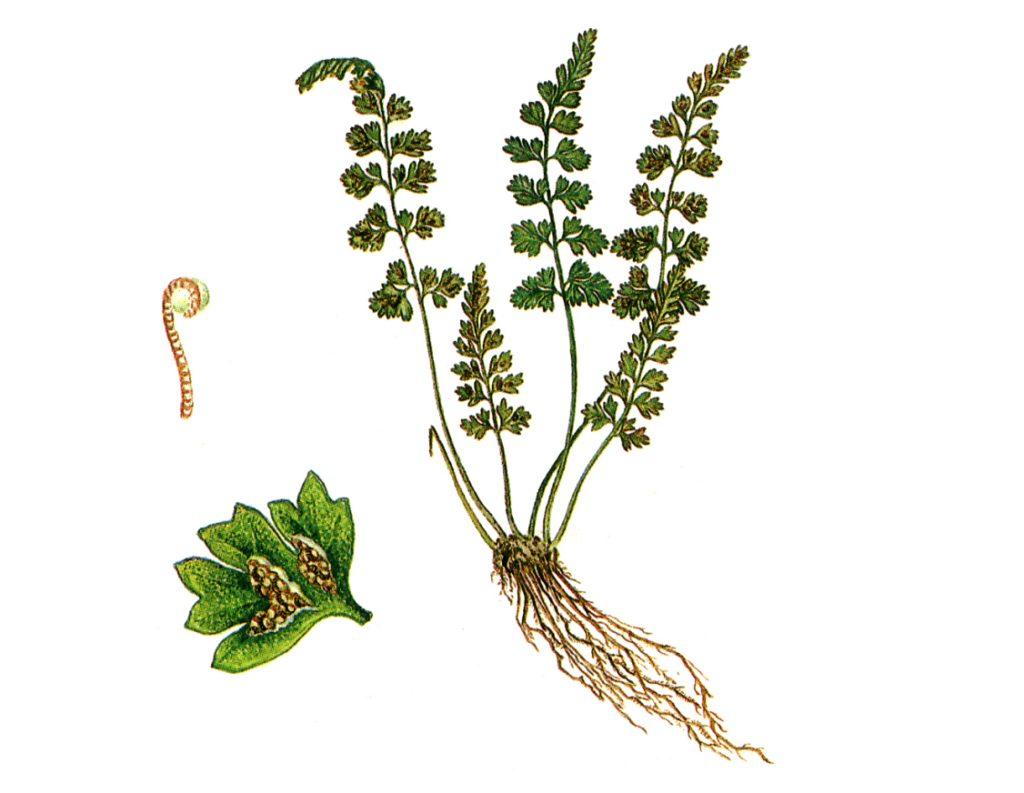 Костенец дагестанский Asplenium Daghestanicum