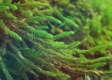 Крифея амурская Cryphaea Amurensis