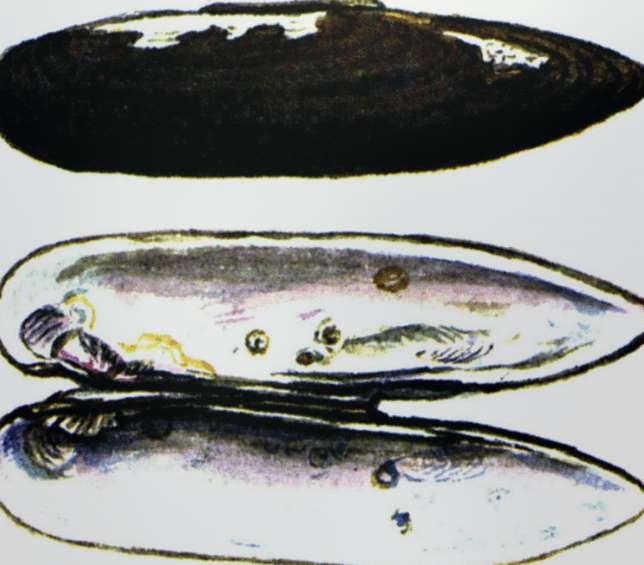 Ланцеолярия Богатова Lanceolaria Bogatovi