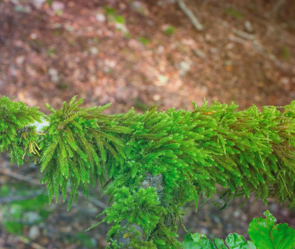 Леукодон флагеллоносный Leucodon Flagellaris