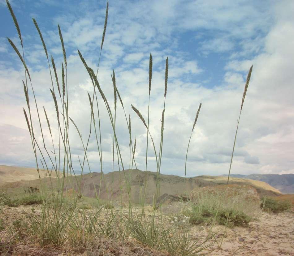 Ломкоколосник скальный Psathyrostachys Rupesrtris