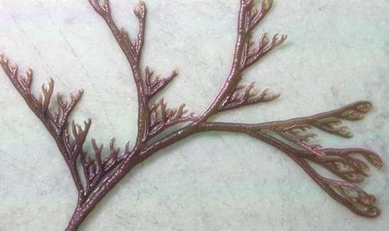 Микрокладия бореальная Microcladia Borealis