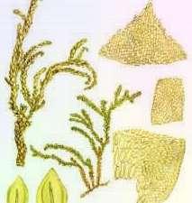 Миябея кустарничковая Miyabea Fruticella