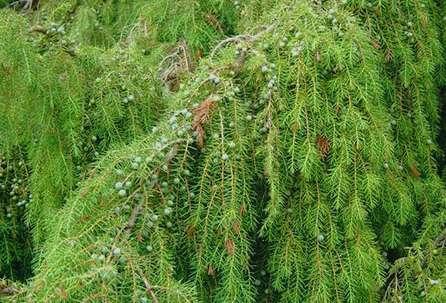 Можжевельник твердый Juniperus Rigida Litoralis
