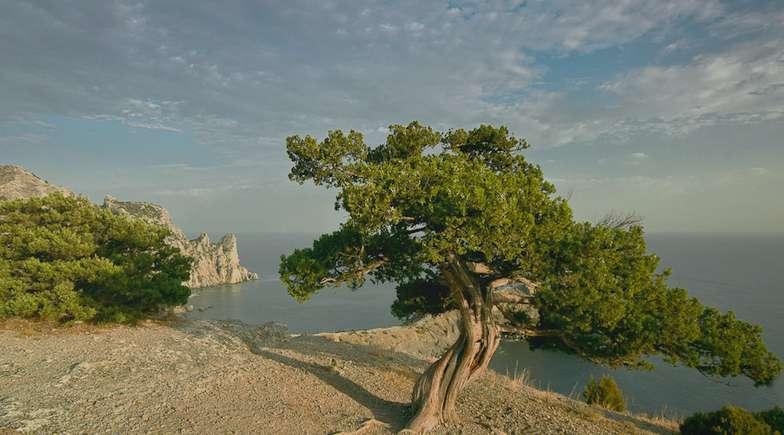 Можжевельник высокий Juniperus Excelsa