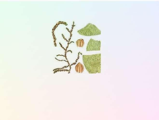 Мюриния круглолистная Myrinia Rotundifolia