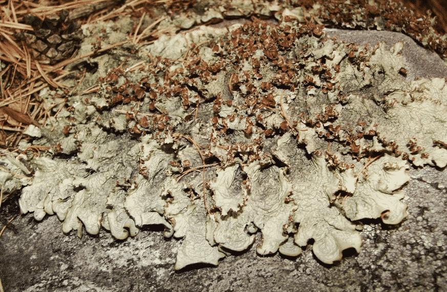 Нефромопсис Комарова Nephromopsis Komarovii