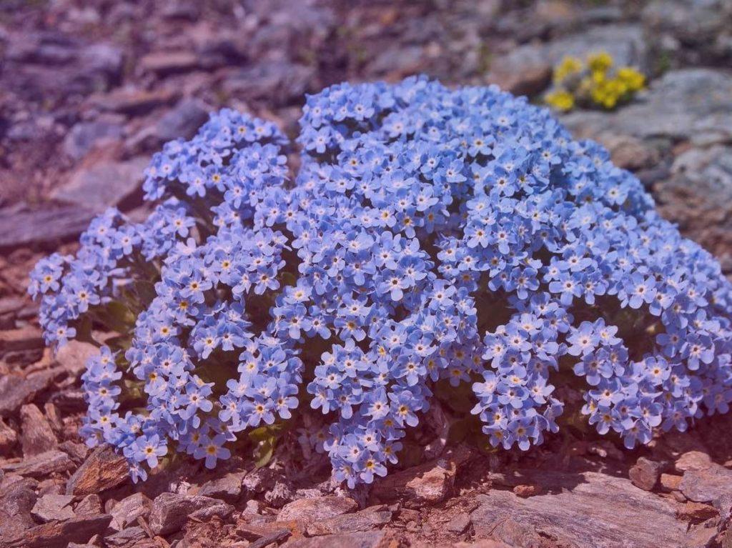 Незабудочник уральский Eritrichium Uralense