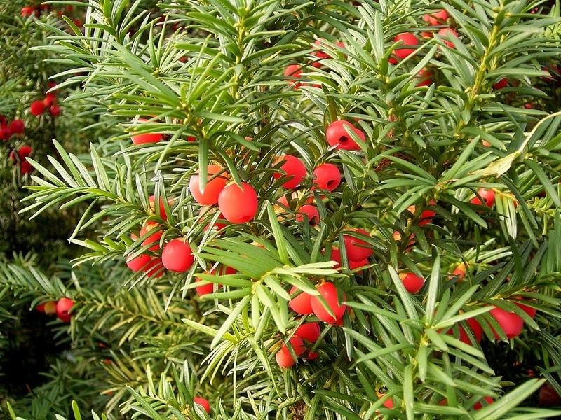 Тис ягодный Taxus baccata