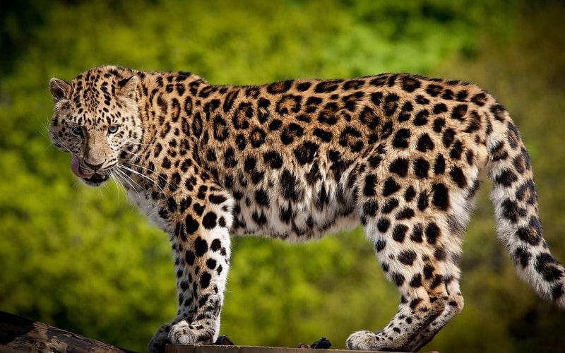 Леопард Panthera pardus