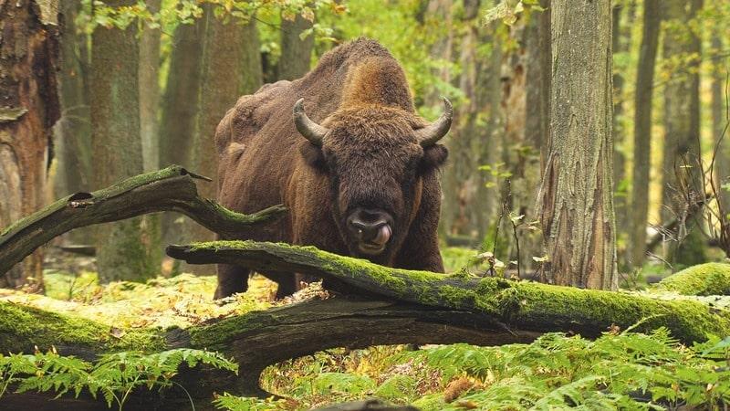 Зубр Bison bonasus