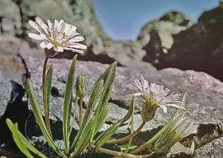 Одуванчик белоязычковый Taraxacum Leucoglossum