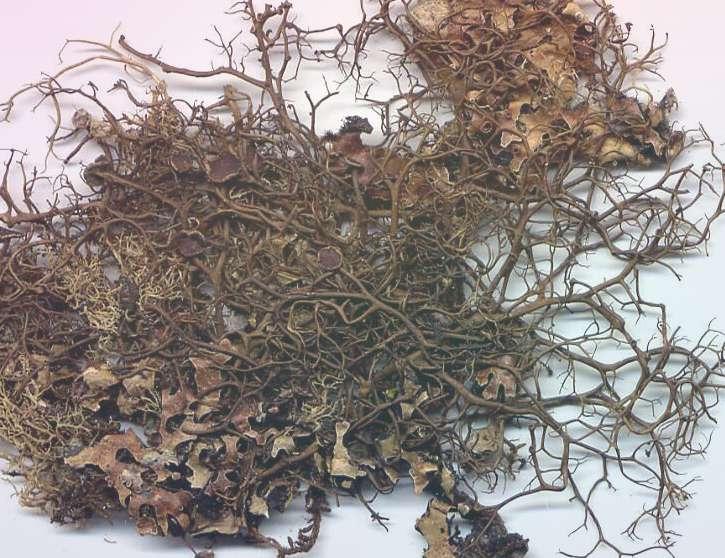 Оропогон азиатский Oropogon Asiaticus