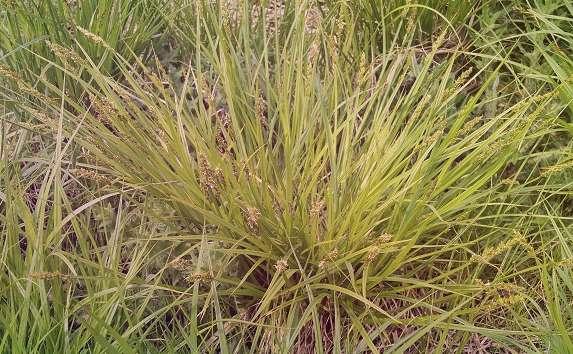 Осока разрезная Carex Incisa