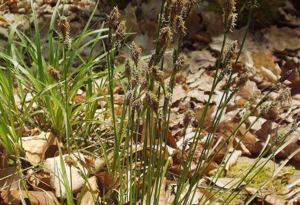 Осока теневая Carex Umbrosa