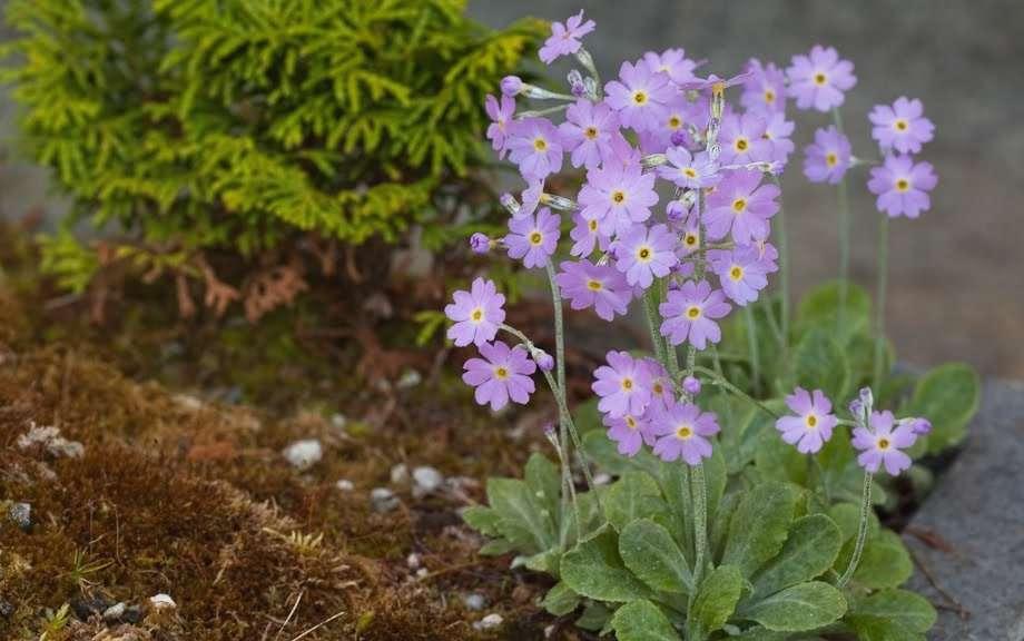 Первоцвет дарьяльский Primula Darialica