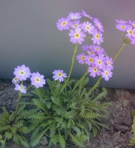 Первоцвет перистый Primula Pinnata