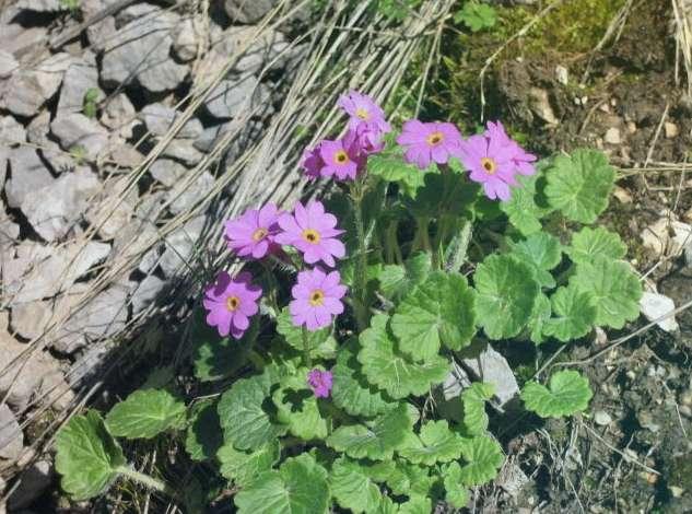 Первоцвет почколистный Primula Renifolia