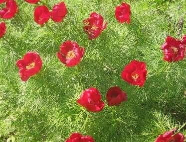 Пион степной Paeonia Hybrida