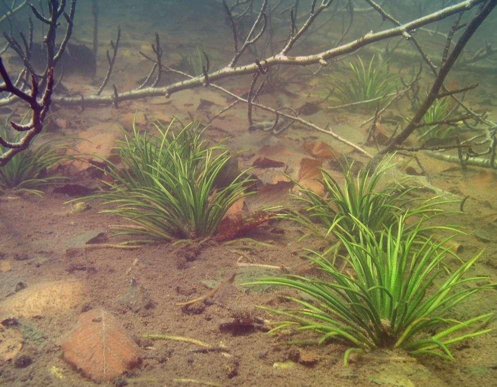 Полушник озерный Isoetes Lacustris