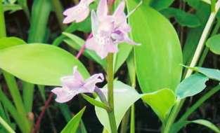 Понерорхис малоцветковый Ponerorchis Pauciflora