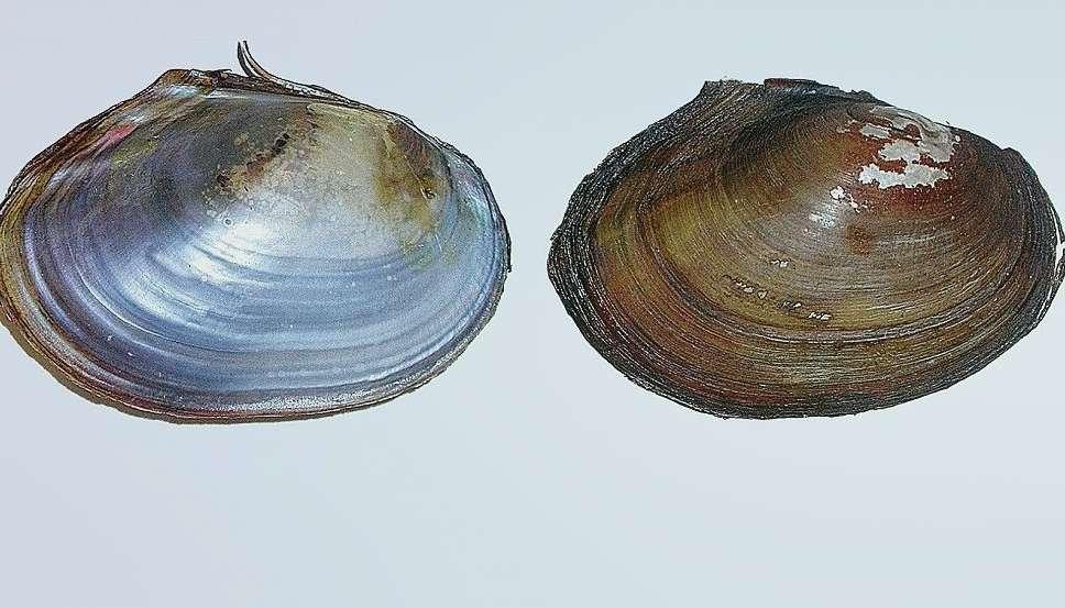 Приморская синанодонта Sinanodonta Primorjensis